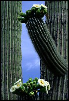 Saguaro cactus in bloom. Saguaro National Park, Arizona, USA. (color)