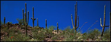 Saguaro cactus on hill under pure blue sky. Saguaro  National Park (Panoramic color)