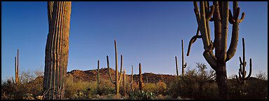 Sonoran desert scenery with cactus. Saguaro  National Park (Panoramic color)