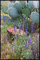 Royal lupine and prickly pear cactus. Saguaro National Park, Arizona, USA.