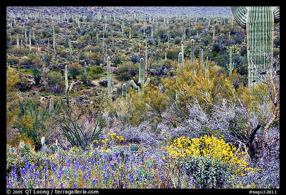 Sonoran desert in bloom, Tucson Mountain District. Saguaro National Park, Arizona, USA.