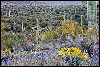 Sonoran desert in bloom, Tucson Mountain District. Saguaro National Park ( color)