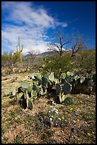 Wildflowers and cactus, Mica View, Rincon Mountain District. Saguaro National Park, Arizona, USA. (color)