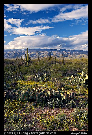 Cactus and carpet of yellow wildflowers, Rincon Mountain District. Saguaro National Park, Arizona, USA.