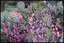 Pink wildflowers and prickly pear cactus. Saguaro National Park, Arizona, USA.