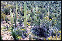 Saguaro cactus and desert in bloom near Valley View overlook. Saguaro National Park, Arizona, USA. (color)