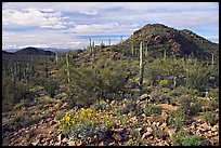 Brittlebush, cactus, and hills, Valley View overlook, morning. Saguaro National Park ( color)
