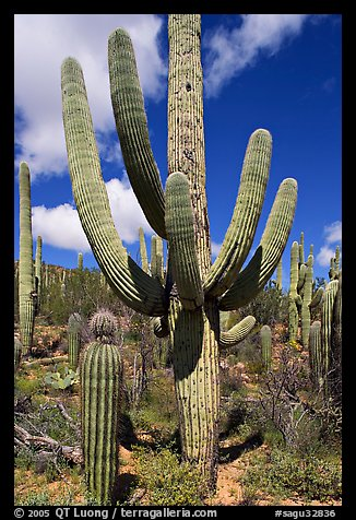 Multi-armed sagurao cactus near Ez-Kim-In-Zin. Saguaro National Park (color)