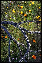 Mexican poppies and cactus squeleton. Saguaro National Park, Arizona, USA. (color)