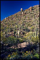 Cactus on hillside in spring, Hugh Norris Trail. Saguaro National Park, Arizona, USA. (color)