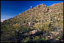 Hillside in spring with desert annual flowers, Hugh Norris Trail. Saguaro National Park, Arizona, USA.