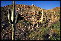 Saguaro cacti on hillside, Hugh Norris Trail, late afternoon. Saguaro National Park ( color)