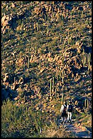 Hikers descending Hugh Norris Trail amongst saguaro cactus, late afternoon. Saguaro National Park, Arizona, USA. (color)