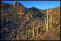 Tall cactus on the slopes of Tucson Mountains, late afternoon. Saguaro National Park, Arizona, USA.