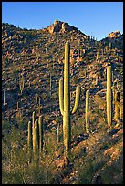 Tall saguaro cactus on the slopes of Tucson Mountains, late afternoon. Saguaro National Park ( color)