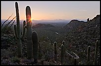 Saguaro cactus at sunset, Hugh Norris Trail. Saguaro National Park, Arizona, USA.
