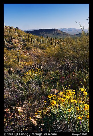 Brittlebush and cactus near Ez-Kim-In-Zin, morning. Saguaro National Park, Arizona, USA.