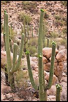 Saguaros (Carnegiea gigantea) in flower. Saguaro National Park ( color)