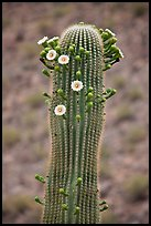 Tip of saguaro arm with pods and blooms. Saguaro National Park, Arizona, USA. (color)