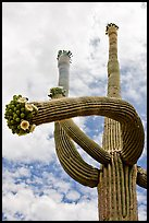 Saguaro with twisted arm and flowers. Saguaro National Park, Arizona, USA. (color)
