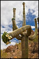 Giant saguaro cactus with flowers on curving arm. Saguaro National Park, Arizona, USA. (color)