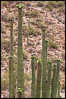Tops of saguaro cactus with blooms. Saguaro National Park, Arizona, USA. (color)