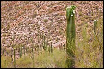 Palo Verde and saguaro with flowers. Saguaro National Park ( color)