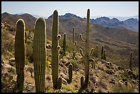 Cactus and Tucson Mountains. Saguaro National Park ( color)