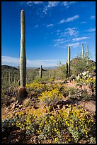 Sonoran Desert in bloom. Saguaro National Park ( color)