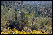 Bajada in springtime. Saguaro National Park ( color)