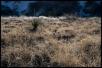 Grasses and shurbs. White Sands National Park ( color)