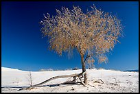 Rio Grande Cottonwood tree (Populus deltoids subspecies wizlizenii) in late autumn. White Sands National Park ( color)