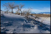 Dunes with Rio Grande Cottonwood trees. White Sands National Park ( color)