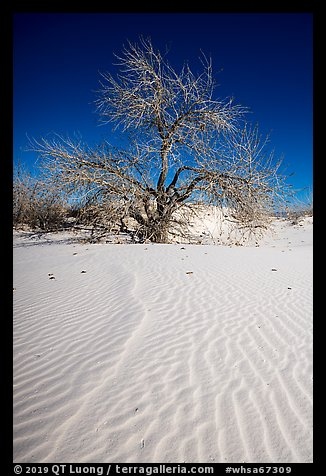 Rio Grande Cottonwood growing on sand dunes. White Sands National Park (color)