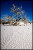 Rio Grande Cottonwood growing on sand dunes. White Sands National Park ( color)