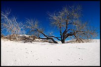 Rio Grande Cottonwood trees and sand dunes. White Sands National Park ( color)
