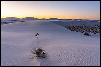 Dunes and soaptree Yucca in autumn at sunset. White Sands National Park ( color)