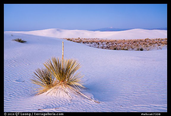 Yuccas and dune field at dusk. White Sands National Park (color)