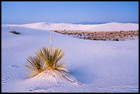 Yuccas and dune field at dusk. White Sands National Park ( color)