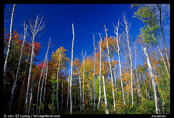 Forest of white birch trees against blue sky. Acadia National Park, Maine, USA.