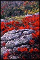 Bright red shrubs and granite slabs on Cadillac mountain. Acadia National Park, Maine, USA. (color)