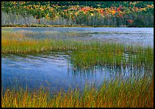 Reeds in pond with trees in fall foliage in the distance. Acadia National Park, Maine, USA.