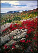 Poison Sumac in bright fall color, rock slabs, forest on hillside, and coast. Acadia National Park, Maine, USA.