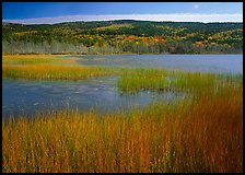 Reeds, pond, and hill with fall color. Acadia National Park, Maine, USA.