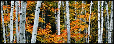 White birch trees and orange-colored maple leaves in autumn. Acadia National Park (Panoramic color)