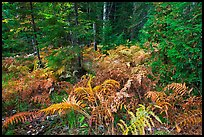 Forest undergrowth in autumn. Acadia National Park, Maine, USA. (color)
