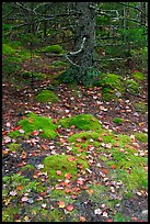 Moss, leaves, and tree. Acadia National Park, Maine, USA.