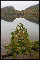 Sapling growing out of branch and hills, Jordan Pond. Acadia National Park, Maine, USA.