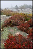 Lichen-covered rocks and red berry plants in fog, Cadillac Mountain. Acadia National Park, Maine, USA.