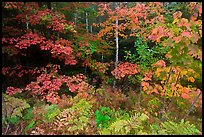 Multicolored leaves in autumn. Acadia National Park, Maine, USA.